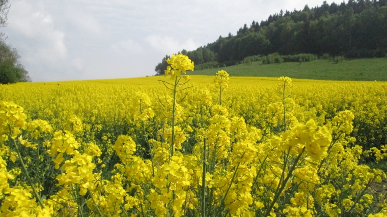 Fields of yellow flowers in Poland.