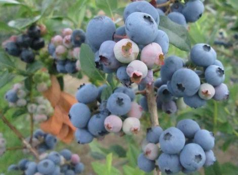Blueberry bush.